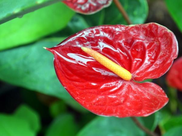 +25 plantas de interior que necesitan poca luz - Anturio rojo