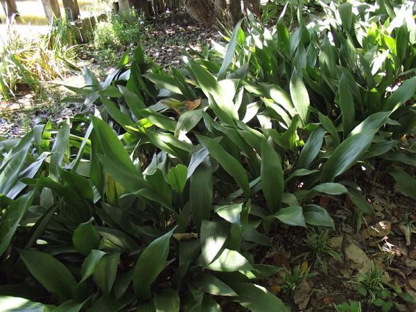 +25 plantas de interior que necesitan poca luz - Aspidistra