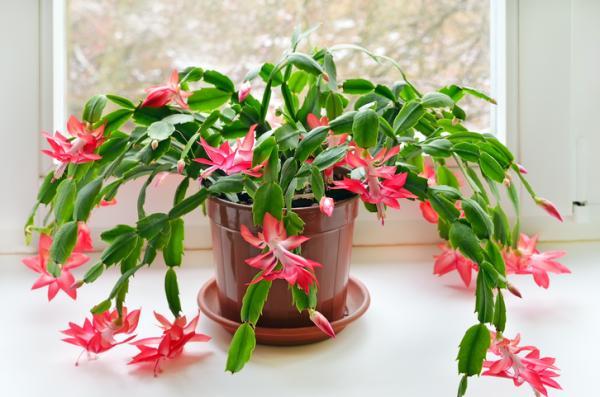 +25 plantas de interior que necesitan poca luz - Cactus de Navidad o de Pascua