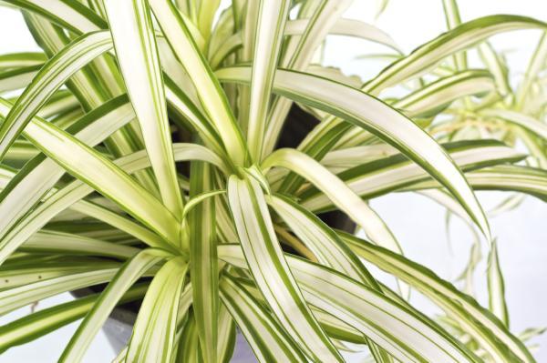 +25 plantas de interior que necesitan poca luz - Cinta o malamadre