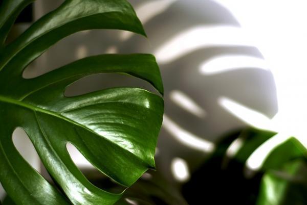 +25 plantas de interior que necesitan poca luz - Costilla de Adán