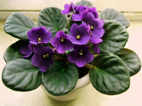 +25 plantas de interior que necesitan poca luz - Violeta africana