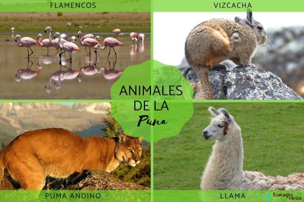Puna: qué es, características, flora y fauna - Fauna de la Puna