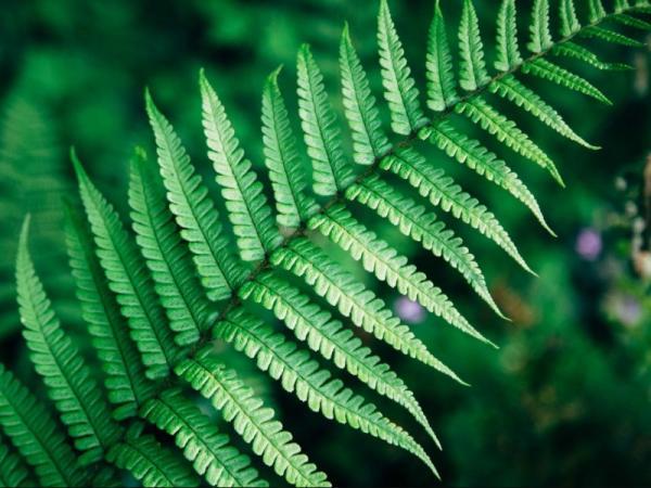 Plantas sin flores - Las pteridofitas o helechos, otro tipo de plantas sin flores