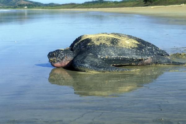 Tortugas del Mediterráneo - Tortuga laúd o Dermochelys coriacea