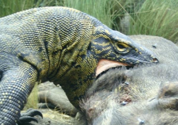 ¿El dragón de Komodo tiene veneno? - Características del dragón de Komodo