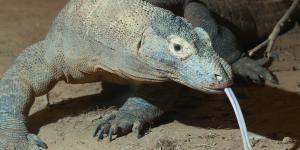 ¿El dragón de Komodo tiene veneno?