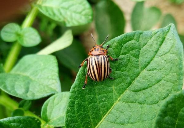 Remedios caseros para eliminar el escarabajo de la patata