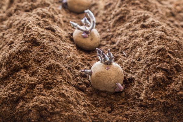 Cómo sembrar papas - Cómo sembrar papas o patatas - pasos para plantar