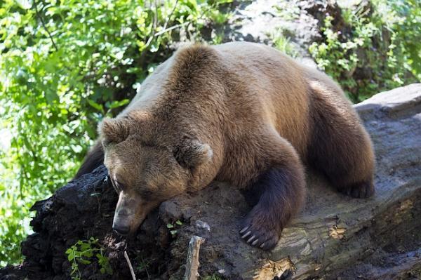 Por qué el oso pardo está en peligro de extinción - Dónde hay osos pardos
