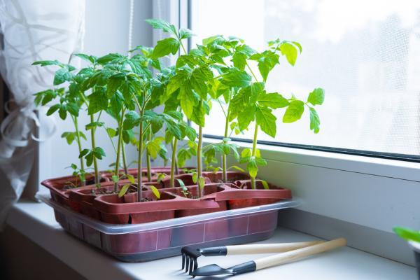 Germinar semillas de tomate: cómo hacerlo y cuidados - Cuidados de las semillas de tomate germinadas