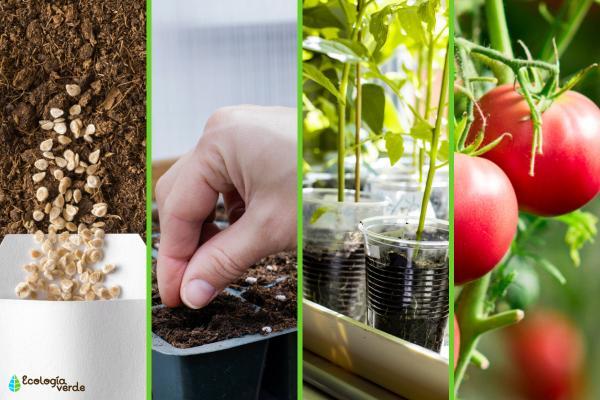 Germinar semillas de tomate: cómo hacerlo y cuidados