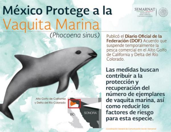 Por qué la vaquita marina está en peligro de extinción - La vaquita marina: características