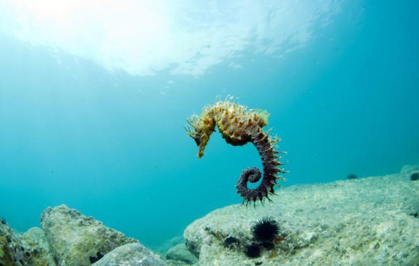 Animales hermafroditas: reproducción y ejemplos - El caballito de mar es un animal de fecundación externa, pero ¿es hermafrodita?