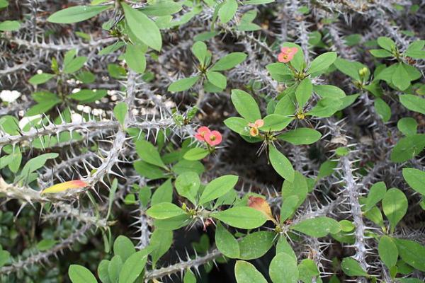 Corona de Cristo: cuidados - Clima para la planta corona de espinas