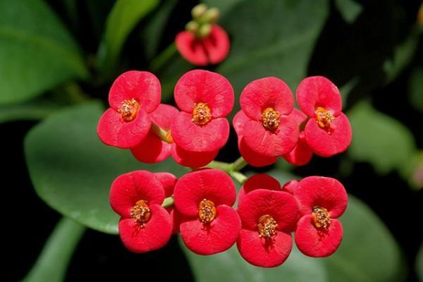 Corona de Cristo: cuidados - Cómo reproducir la planta corona de Cristo o de espinas