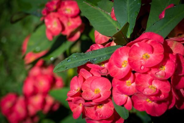 Corona de Cristo: cuidados - Riego de la planta corona de Cristo