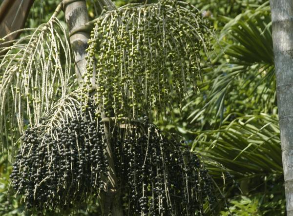 Sabana de Palmeras: características, flora y fauna - Flora de la Sabana de Palmeras o Sabana Húmeda Tropical