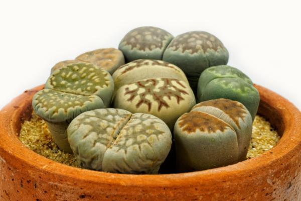 Tipos de cactus: nombres y cuidados - Lithops o cactus piedra, una de las especies de cactus más curiosas