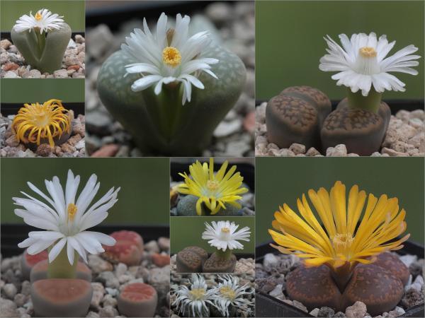 Cactus piedra o lithops: cuidados - Cómo hacer florecer un cactus piedra