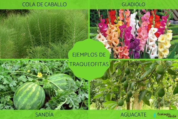 Traqueofitas: qué son, clasificación, características y ejemplos - Ejemplos de plantas traqueofitas