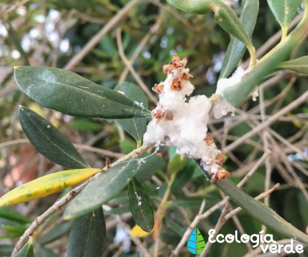 Eliminar la cochinilla algodonosa: tratamiento y remedios caseros
