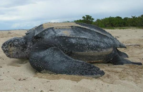 Animales en peligro de extinción en El Salvador - Tortuga laúd