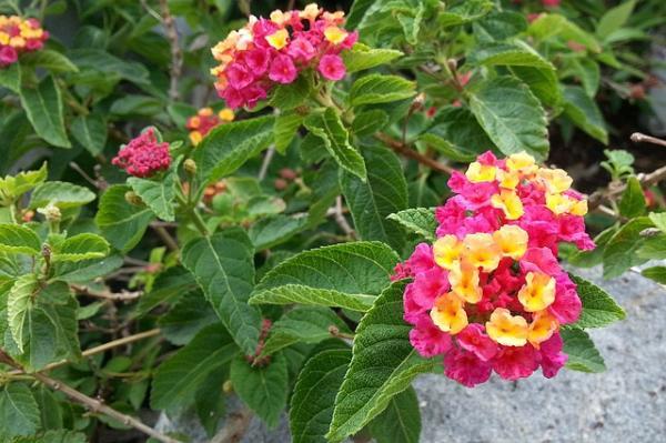 21 arbustos con flores - Banderita española o lantana