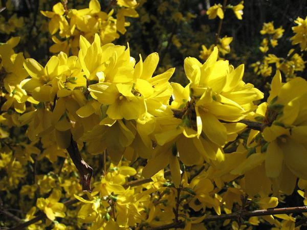 21 arbustos con flores - Campanita china o campanas doradas
