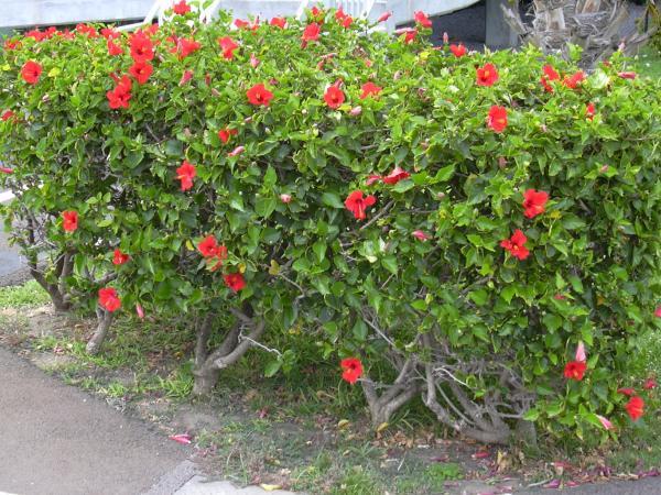 21 arbustos con flores - Hibisco o rosa china