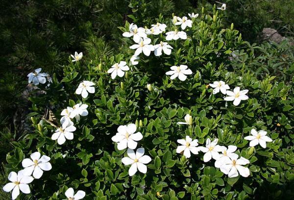 21 arbustos con flores - Jazmín del cabo