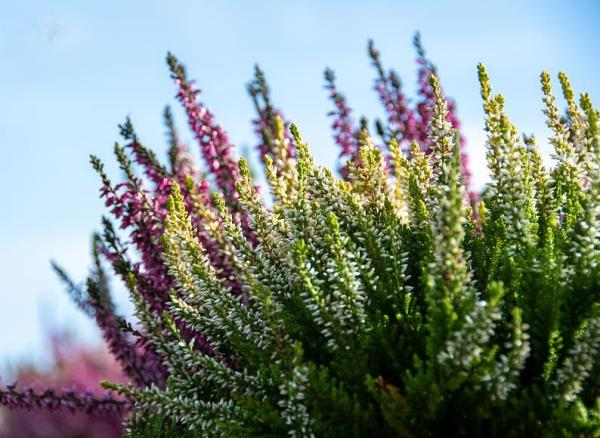 Plantas acidófilas: qué son, ejemplos y cuidados - Erica spp y Calluna spp o brezos