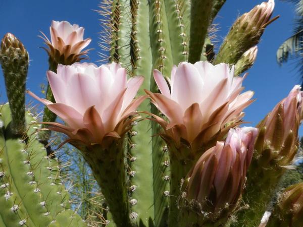 Tipos de cactus con flores - Qué son los cactus