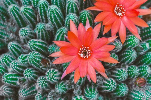 Tipos de cactus con flores - Tipos de cactus con flores: ejemplos