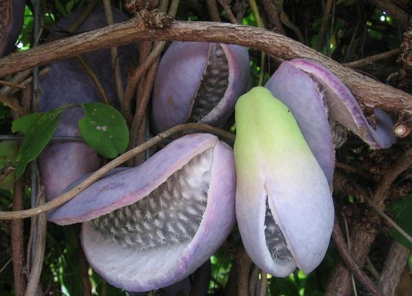 30 nombres de frutas tropicales raras - Akebia