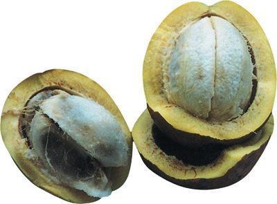 30 nombres de frutas tropicales raras - Platonia