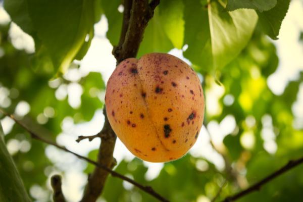 Enfermedades del melocotonero - Xanthomona arboricola pv pruni o mancha negra
