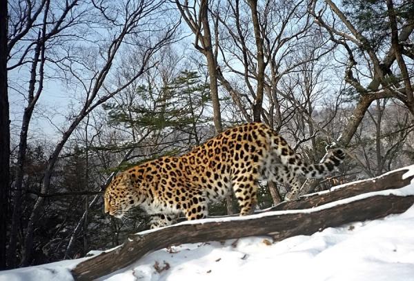 15 animales de Rusia - El leopardo de Amur (Panthera pardus orientalis)