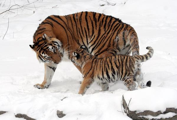 15 animales de Rusia - El tigre de las nieves (Panthera tigris altaica)