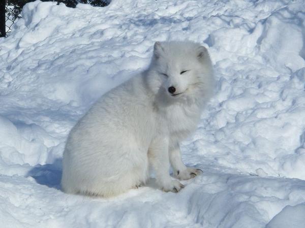 15 animales de Rusia - El zorro ártico (Vulpes lagopus)
