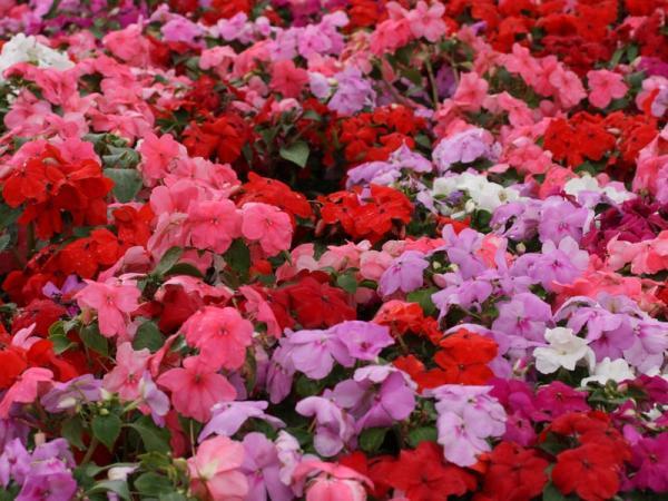 16 plantas de jardín con flores resistentes al sol - Alegrías guineanas