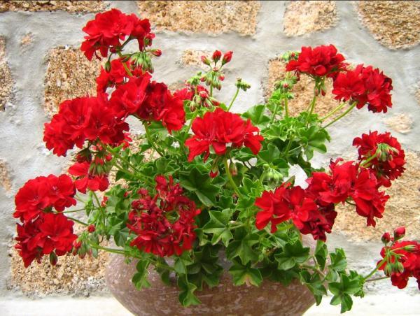 16 plantas de jardín con flores resistentes al sol - Geranios unas plantas de jardín con flores muy resistentes al sol