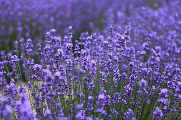 16 plantas de jardín con flores resistentes al sol - Lavanda, planta con flores resistentes al sol