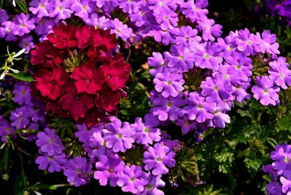 16 plantas de jardín con flores resistentes al sol - Verbena