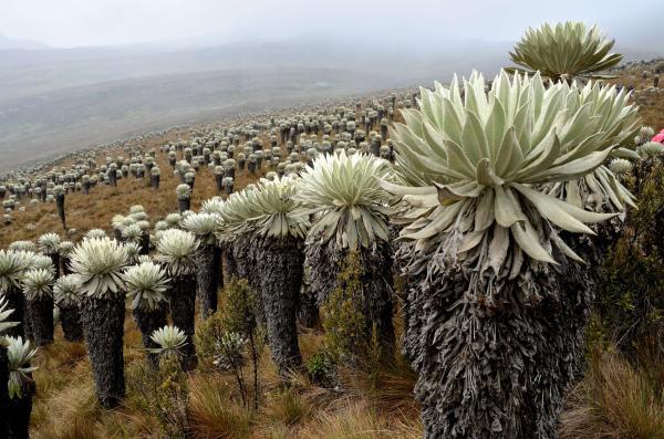 Páramo: características, flora y fauna - Flora del páramo