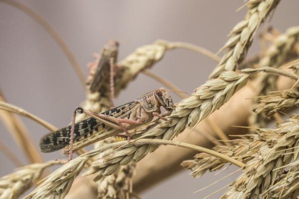 Cómo eliminar una plaga de langostas - Plaga de langostas: ¿a qué plantas afectan?