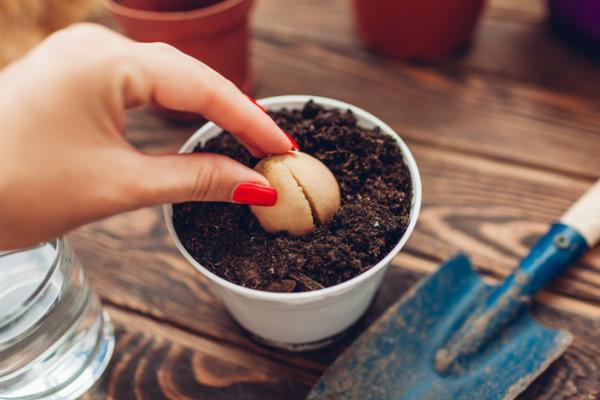 Cuidados del aguacate en maceta - Cuándo y cómo plantar aguacate en maceta