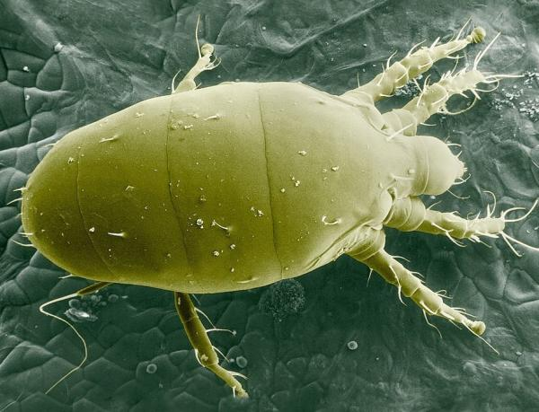 Los animales más pequeños del mundo -  Araña blanca o Polyphagotarsonemus
