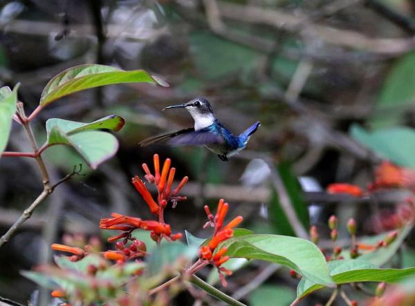 Los animales más pequeños del mundo - Colibrí abeja o Mellisuga helenae