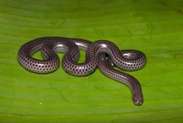 Los animales más pequeños del mundo - Leptotyphlops Carlae